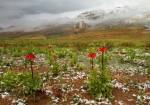 اثر طبیعی ملی لاله واژگون - روستای فخر آباد کوهرنگ